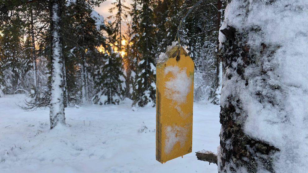 Turtips: Fra Gjævran til Raumyra